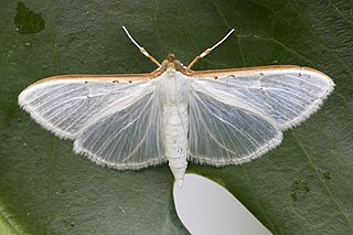 Margaroniini Tribe of moths