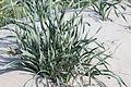 Pancratium maritimum - Sea daffodil - Kum Zambağı 02.jpg