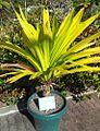 Pandanus macrostigma - Mauritian endemic vacoas - Monvert Arboretum Visitor Centre.jpg