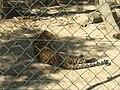 Panthera pardus japonensis African Safari.jpg