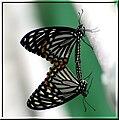 Papilio clytia form dissimilis.jpg