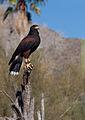 Parabuteo unicinctus -Arizona-Sonora Desert Museum, Tuscon, USA-8e.jpg
