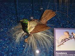 Paradisaea guilielmi Museum de Genève.JPG