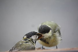 Parus major - Creuse - C - 1.jpg