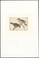 Parus palustris - 1753-1834 - Print - Iconographia Zoologica - Special Collections University of Amsterdam - UBA01 IZA1000288.tif