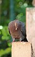 Patagioenas squamosa in Barbados a-06.jpg