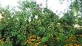 Peach tree - panoramio (29).jpg