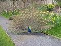 Peacock at Trevarno House, Cornwall - geograph.org.uk - 1031971.jpg