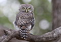 Pearl-spotted Owlet, Glaucidium perlatum, at Pilanesberg National Park, Northwest Province, South Africa (16780542758).jpg
