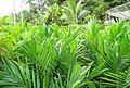 Pembibitan kelapa sawit (20).JPG