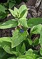 Pentaglottis sempervirens 125710765.jpg