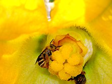 Bee pollinating female Cucurbita flower