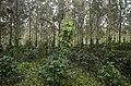 Pepper plantation Kolli hills JEG3042.jpg