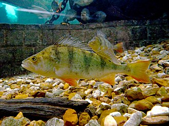 European perch - Image: Perca fluviatilis 2