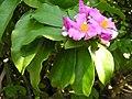 Pereskia grandifolia4.jpg