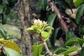 Pereskia grandifolia 31zz.jpg
