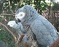 Perroquet Gris du Gabon.jpg