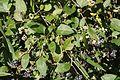 Persicaria chinensis (Saku Island).jpg