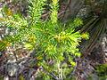 Persoonia isophylla 2.jpg