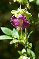 Peru - Salkantay Trek 150 - orchid (7158943233).jpg