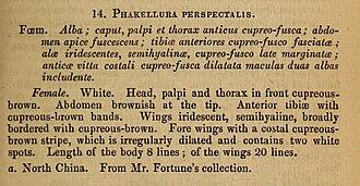 Cydalima perspectalis - first description WALKER 1859