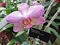 Phalaenopis cultivar - JBM.jpg