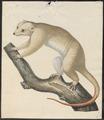 Phalangista orientalis - 1700-1880 - Print - Iconographia Zoologica - Special Collections University of Amsterdam - UBA01 IZ20300242.tif