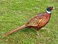 Pheasant (33863562295).jpg