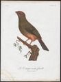 Phoenicircus carnifex - 1801 - Print - Iconographia Zoologica - Special Collections University of Amsterdam - UBA01 IZ16600243.tif