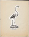 Phoenicopterus antiquorum - 1809-1845 - Print - Iconographia Zoologica - Special Collections University of Amsterdam - UBA01 IZ17600011.tif