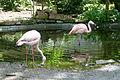 Phoenicopterus ruber roseus Flamingo 01.jpg