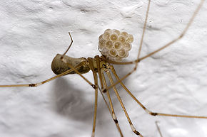 Faucheux Araignée pholcus phalangioides — wikipédia