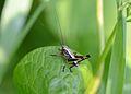 Pholidoptera Nymphe.jpg