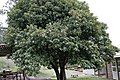 Photinia tree.jpg