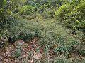 Phyllanthus talbotii (15995991378).jpg