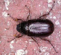 Phyllophaga spPCCP20040419-4076A2.jpg