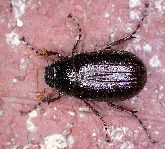 File:Phyllophaga spPCCP20040419-4076A2.jpg