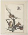 Phyllorhina cruminiferus - 1700-1880 - Print - Iconographia Zoologica - Special Collections University of Amsterdam - UBA01 IZ20700171.tif