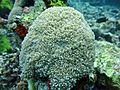 Physogyra lichtensteini Maldives.JPG