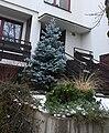 Picea pungens 7646.JPG