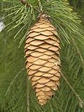 Picea smithiana Brno4.JPG