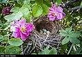 Picking rose to make Golab in Fars 02.jpg