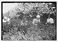 Picking worms from plants, Belmont girls farm LOC 2163464676.jpg