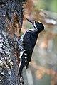 Picoides arcticus -Brunswick, Vermont, USA -male-8.jpg