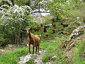 Picos de Europa en Castilla y León - cabras en Caín de Arriba 01.JPG