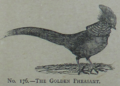 Picture Natural History - No 176 - The Golden Pheasant.png