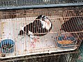 Pigeon in cage at Jatinegara Market.jpg