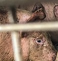 Pigs in a slaughter truck 6.jpg