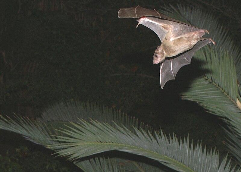 עטלף מעופף