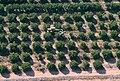PikiWiki Israel 11681 Oranges trees in Moshav Tsofit.JPG